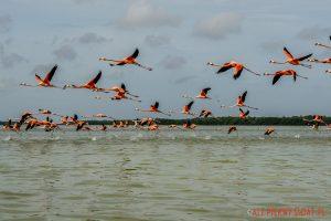 Flamingi w rezerwacie w Celestun w Meksyku