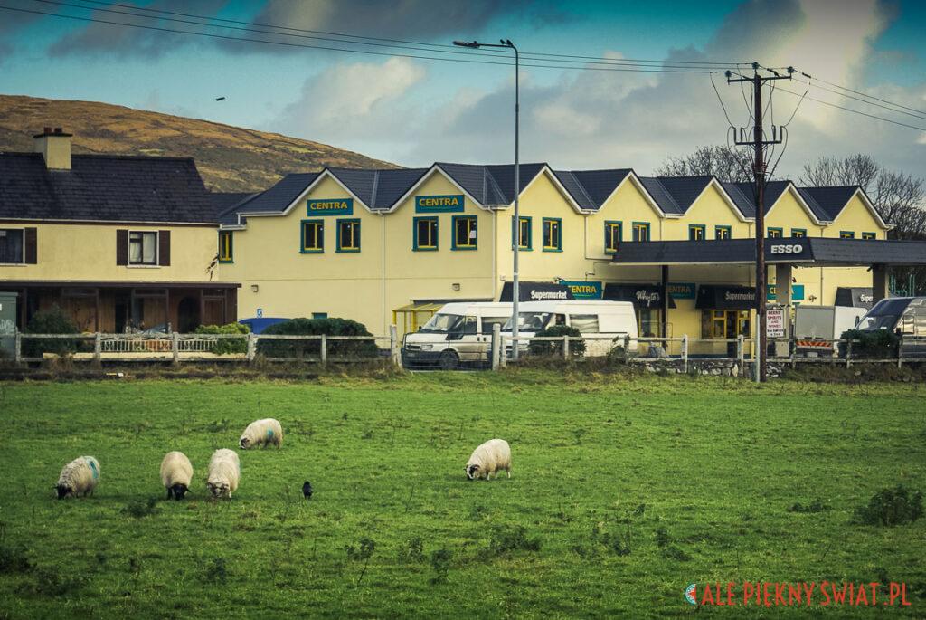 Półwysep Dingle w Irlandii. Owce pasą sie w mieście.