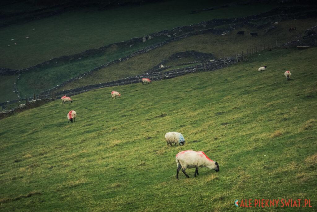 Irlandzkie owce